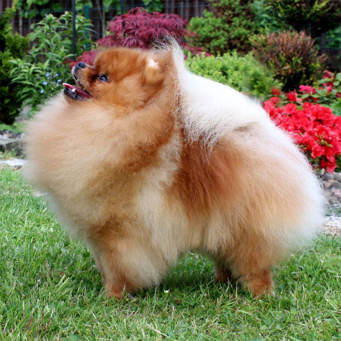 AMAZING LI'L DANCER of Maja's Pomeranianworld