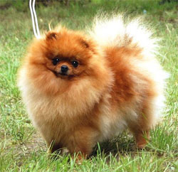 files/liebhaber/img/Galerien/Zwergspitz/orange/Curly-Sue-of-Maja's-Pomeranianworld.jpg