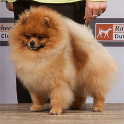 files/liebhaber/img/Galerien/Zwergspitz/orange/Magic-Dancer-of-Maja's-Pomeranianworld.jpg